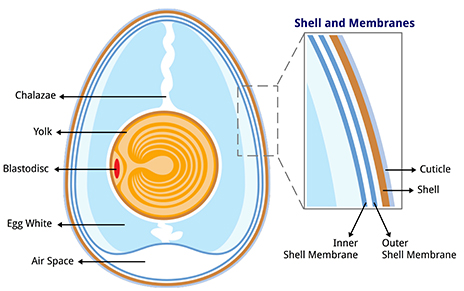 Anatomy_of_an_egg_labeled_464px incubation of duck eggs without removal of cuticle hatchery